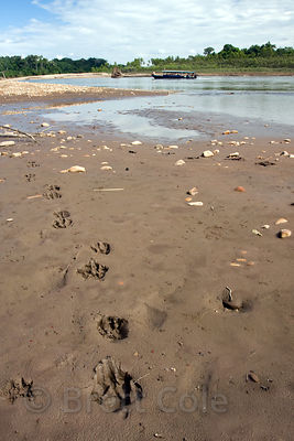 Unidentified cat tracks on the bank of the Tambopata River, Peruvian Amazon