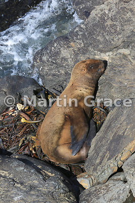 Southern Sea Lion (Otaria flavescens) sleeping in the sun on a bed of washed-up kelp above the sea, Sea Lion Island, Falkland Islands