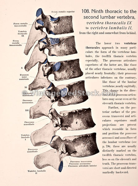 Ninth Thoracic to the Second Lumbar Vertebra