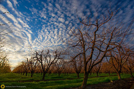 Dramatic Sky Over Peach Orchards #1