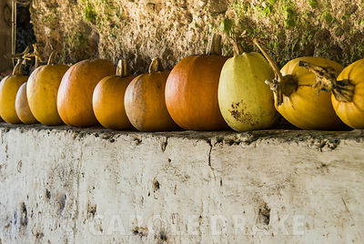 Pumpkins line up to dry. Hidden Valley Nursery, Old Souith Heale, High Bickington, north Devon, UK