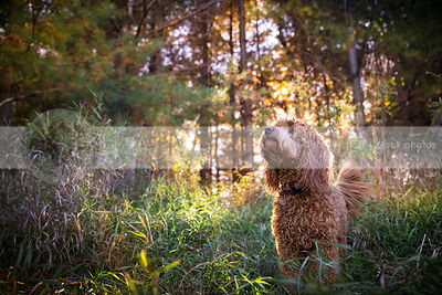 red mini doodle dog standing in grasses and pine trees with sunshine
