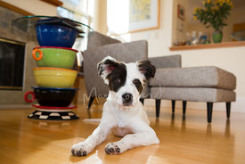Black and white mixed breed puppy lying on floor in contemporary living room