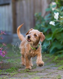 Scruffy Brown Puppy Walking Down Brick Garden Path