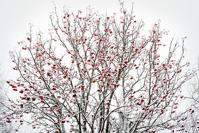 Blooming tree under snow