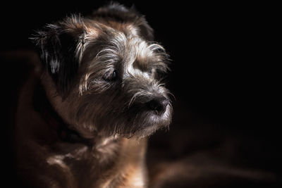 GRACEFUL_GERTY_BORDER_TERRIER