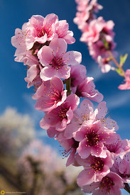 Pink Peach Blossoms #3