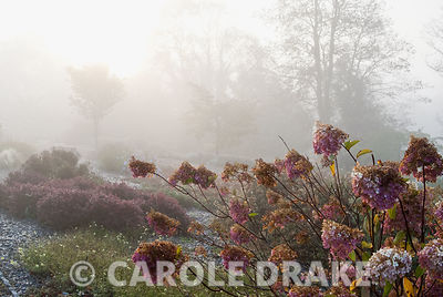Hydrangeas on a misty autumn morning. National Botanic Garden of Wales, Middleton Hall, Carmarthenshire, Wales, UK