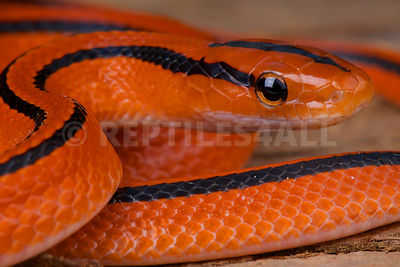 Thai red mountain ratsnake / Oreocryptophis porphyracea coxi photos