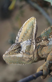 Chamaeleo calyptratus, Jemen Chameleon, Canary Islands, Spain
