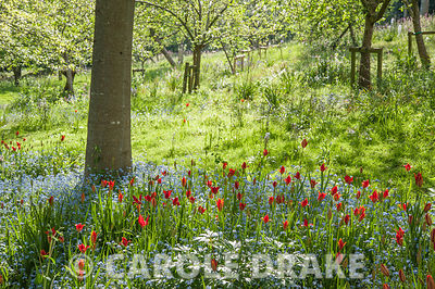Avenue of red and scarlet oaks with a sea of forget-me-nots studded with scarlet Tulipa sprengeri at their feet. The Old Rectory, Netherbury, Dorset