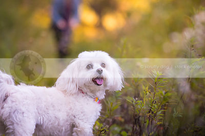 happy small fluffy white dog looking back standing in weeds