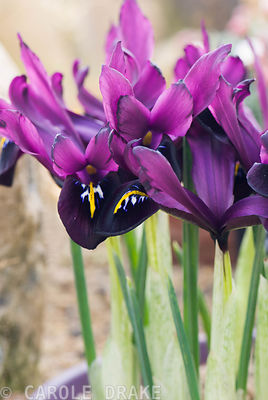 Iris 'George' (reticulata), AGM. Alpine House, RHS Garden Harlow Carr, Harrogate, North Yorkshire, UK