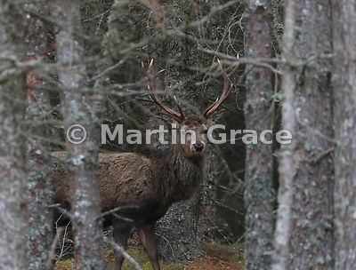 Red Deer stag (Cervus elaphus) within forestry, Badenoch & Strathspey, Scottish Highlands