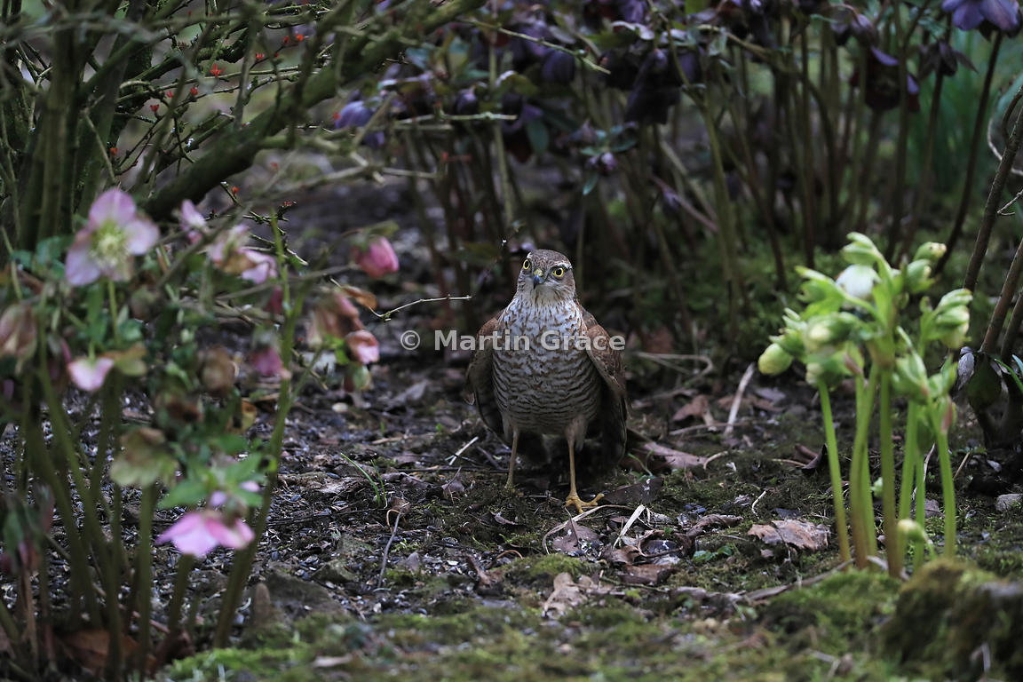 The silent killer in the shrubbery - a juvenile male Eurasian Sparrowhawk (Accipiter nisus) lurks between the Hellebores (Helleborus spp), Lake District National Park, Cumbria, England