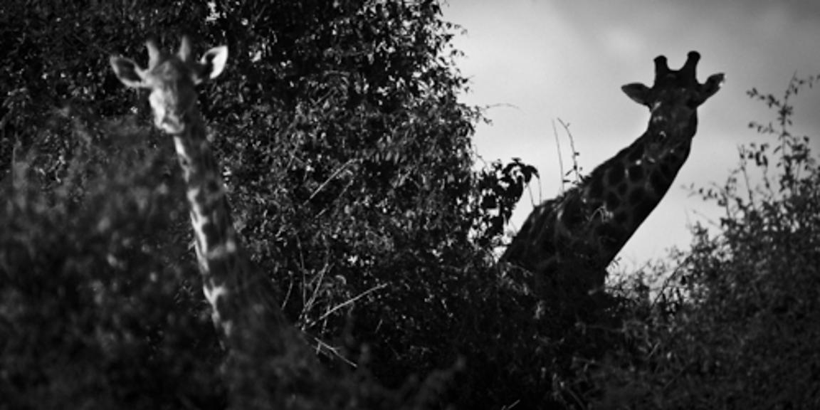 5140-Giraffes_playing_at_hide_and_seek_South_Africa_2008_Laurent_Baheux