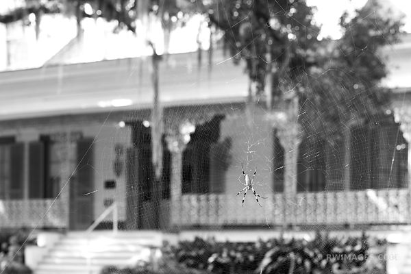 ORB WEAVER SPIDER MYRTLES PLANTATION ST. FRANCISVILLE LOUISIANA COLOR