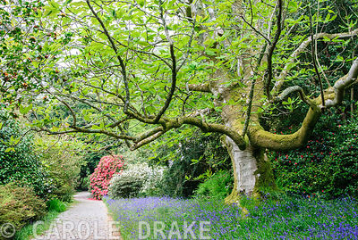 Magnolia hypoleuca rising above bluebells, with azaleas and rhododendrons beyond. Trewidden, Buryas Bridge, Penzance, Cornwall, UK