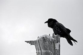 Common Raven (Corvus corax) perched on a dead tree on Hurricane Ridge, Olympic National Park, Olympic Peninsula, Washington, USA, March, 2009_WA_8188