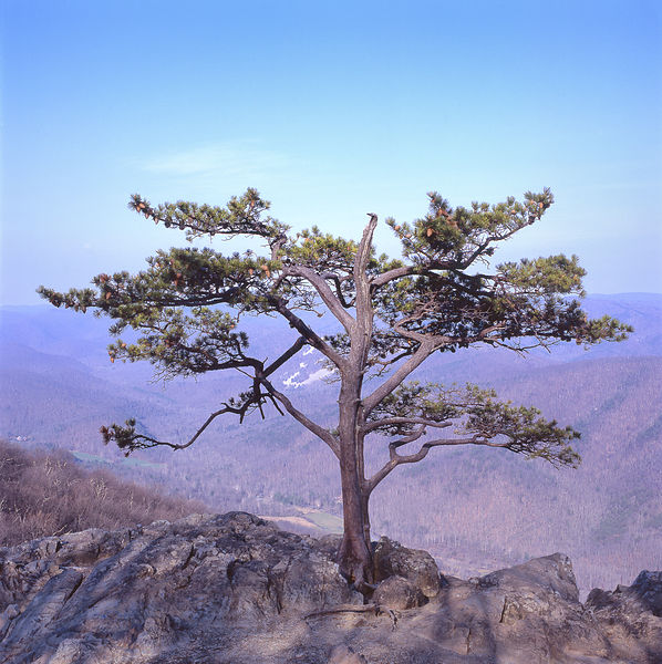 055-Blue_Ridge_D145242_Bonsai_on_Cliff_02_Preview