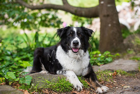 Smiling Border Collie Dog lying down in park