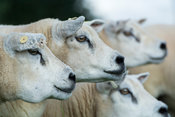 Flock of Texel ewes running with the ram in autumn, Lancashire, UK.