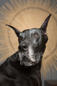 Close up Studio Portrait of Black Great Dane Against Starburst