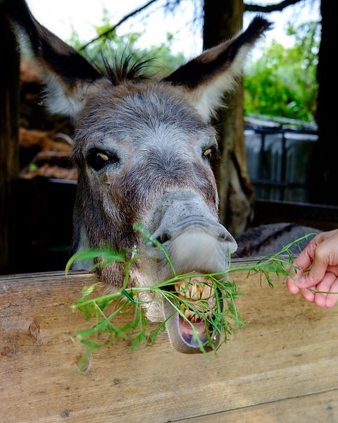 Donkey eating Arugula, Italy