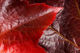 Autumn leaves from a Virginia Creeper