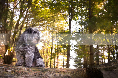 little grey groomed dog sitting on log in forest
