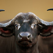African buffalo Cow Portrait