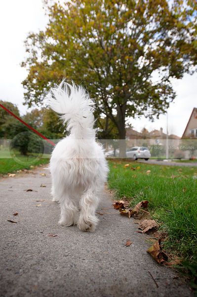 small white dog from behind walking in neighborhood