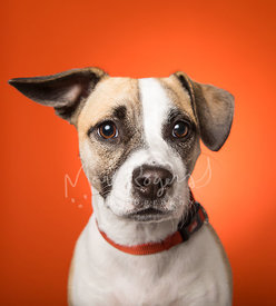 Close-up Beagle Mix Dog Ear Up Against Orange Background