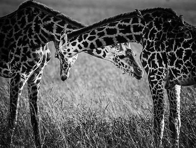 9608-Big_hugs_between_giraffes_Laurent_Baheux