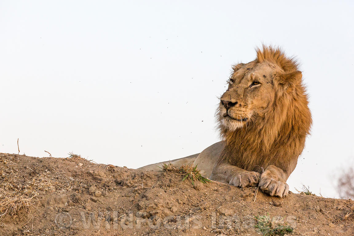 Male African Lion (Panthera leo), Timbavati Nature Reserve, South Africa; Landscape
