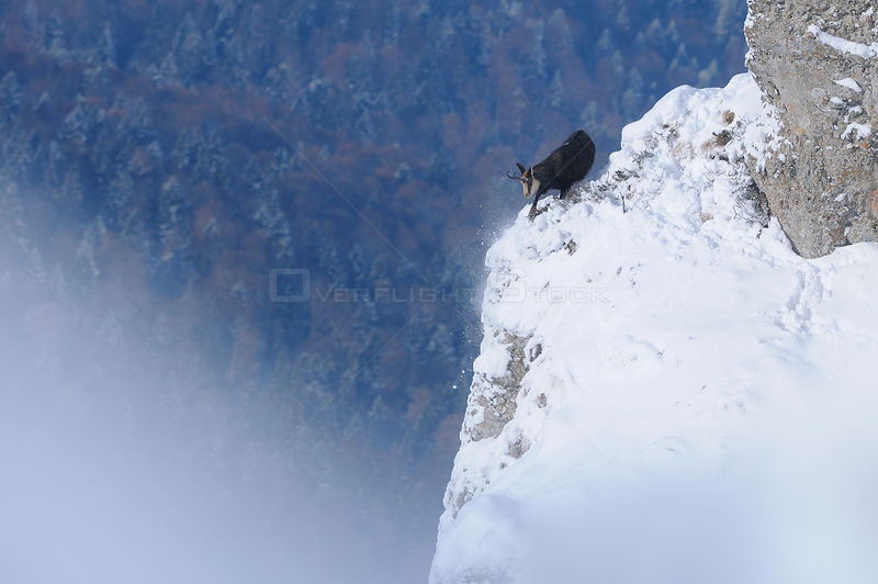 Chamois (Rupicapra Rupicapra Carpatica) on edge of snowy rockface, foraging for vegetation, Ceahlau Mountains, Carpathian Mountain range, Romania. January