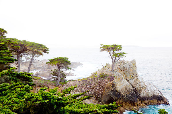 MONTEREY CYPRESS CUPRESSUS MACROCARPA CENTRAL COAST CALIFORNIA