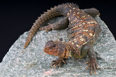 Ocellated Spiny-tailed lizard (Uromastyx ocellata)  photos