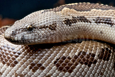 Rough-scaled sand boa  (Gongylophis conicus) photos
