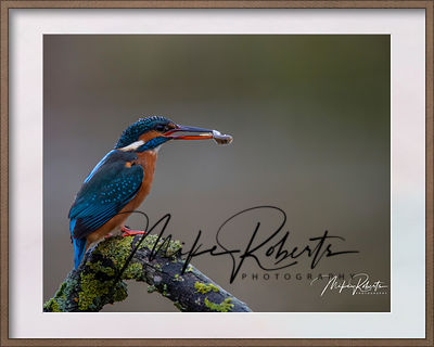 kingfisher-24-Edit