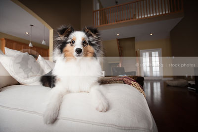 expressive cute sheltie dog posing on sofa at home indoors