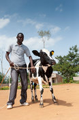 Rwandan farmer receiving a dairy cow from a charity aiming to help African farmers support themselves.