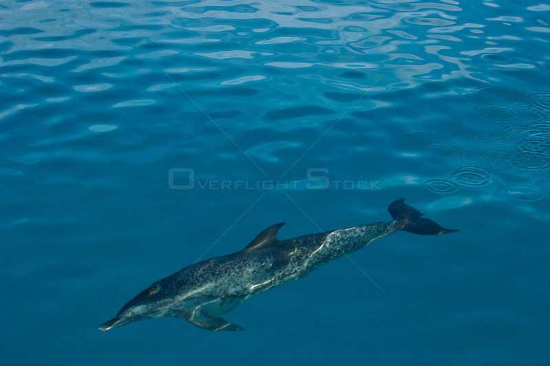 Atlantic spotted dolphin (Stenella frontalis) swimming over Bahama Bank. Sandy Ridge, Little Bahama Bank. Bahamas.