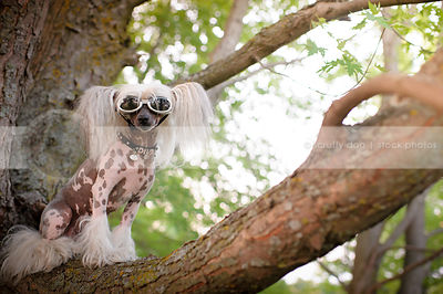 chinese crested freckled dog preched in a tree wearing doggles