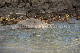 hawaiian_monk_seal_big_island_02062015-167