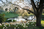 Prunus 'Shirotae' underplanted with Narcissus 'Tresamble' beside the top lake. Little Malvern Court, Worcestershire, UK
