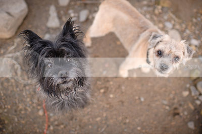 two little terrier dogs staring up from stones
