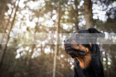 headshot of black and tan dog in sparkly pine forest