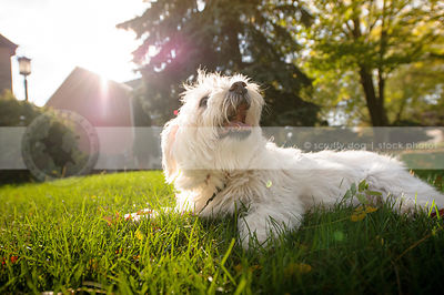 small happy white dog lying on lawn with sunflare