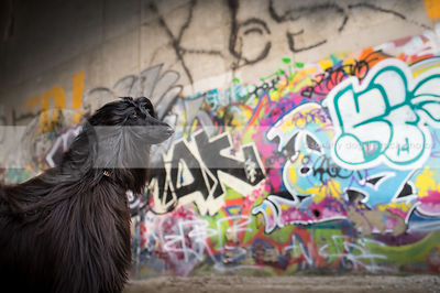 portrait of alert black afghan hound dog at urban graffiti wall